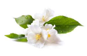 Jasmine makes heavenly Essential Oil